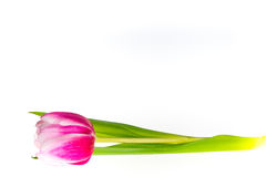 Isolated pink tulip Stock Image
