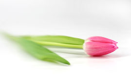 Isolated Pink Tulips Stock Images