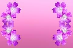 Isolated on pink woodland geranium Stock Images