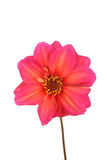 Isolated pink and yellow dahlia flower Stock Photos