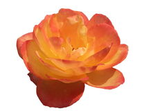 Isolated Pink and Yellow Rose Stock Images