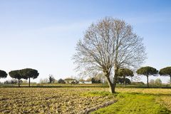 Isolated plane tree in a plowed field Stock Photos