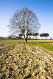 Isolated plane tree in a plowed field Stock Image