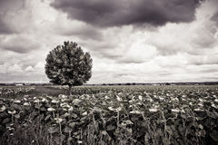 Isolated plane tree in a sunflowers field before a rainstorm Stock Image
