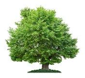 Isolated plane tree Stock Image