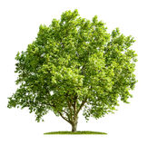 Isolated plane tree on a white background Stock Images