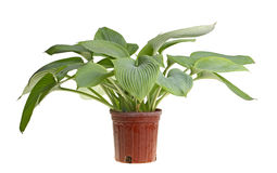 Isolated plant of a blue hosta Stock Photography