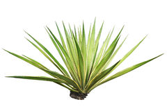 Isolated plant Royalty Free Stock Images