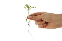 Isolated plant in fingertips Royalty Free Stock Photos