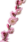 Isolated Plum blossom. On white background royalty free stock photos