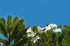 Isolated plumeria. Flower and leaf on bluesky background Stock Image
