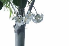 Isolated plumeria. Flower and leaf on white background Stock Image