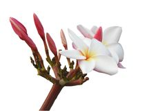 The isolated Plumeria flower,white and yellow in the middle ,some is blooming in white background with clipping path. The isolated Plumeria flower ,white and Stock Photography