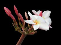 The isolated Plumeria flower ,white and yellow in the middle ,some is blooming in black background with clipping path. The isolated Plumeria flower,white and Royalty Free Stock Image