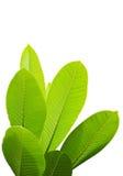 Isolated Plumeria leaf. Plumeria on white background royalty free stock photos