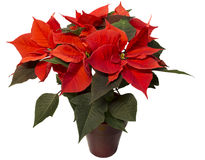 Isolated  Poinsettia Plant Stock Images