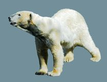 Isolated polar bear. On blue background Stock Images