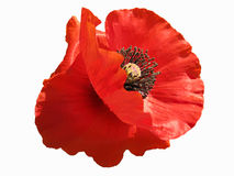 Isolated poppy Royalty Free Stock Images