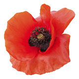 Isolated poppy Stock Image