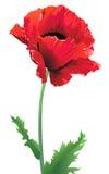 Isolated poppy flower. Poppy flower close up - isolated on white background Stock Image