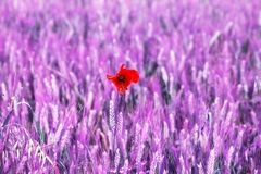 Isolated Poppy flower in a feld field. altered color royalty free stock images