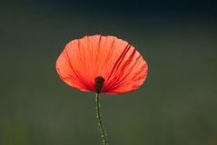 Isolated Poppy Flower in the Field Stock Photo
