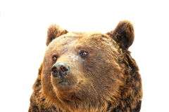 Isolated portrait of a big bear Royalty Free Stock Image