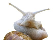 Isolated of portrait Burgundy snail Stock Image