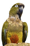 Isolated portrait Burrowing Parrot Royalty Free Stock Image