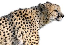 Isolated portrait of cheetah Royalty Free Stock Image