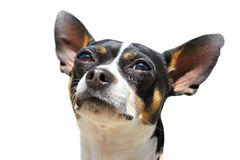 Isolated portrait of a chihuahua dog Stock Photography