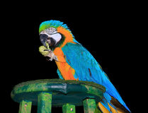 Isolated Portrait of a colorful Macaw Stock Image