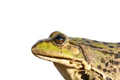 Isolated portrait of common marsh frog Stock Photography