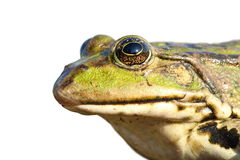 Isolated portrait of common marsh frog Royalty Free Stock Images