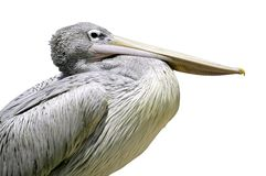 Isolated Portrait dalmatian pelican Stock Image