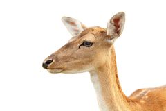 Isolated portrait of deer hind Stock Images