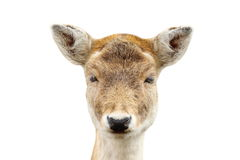 Isolated portrait of deer hind Royalty Free Stock Photo