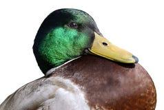 Isolated portrait of duck mallard. Portrait of duck mallard (Anas platyrhynchos) isolated on white background Stock Image