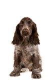 Isolated portrait of english cocker spaniel. European champion, breeding station royalty free stock images