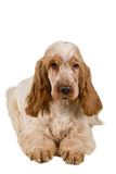Isolated portrait of english cocker spaniel Stock Photography