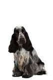 Isolated portrait of english cocker spaniel Stock Images