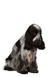 Isolated portrait of english cocker spaniel Royalty Free Stock Photography
