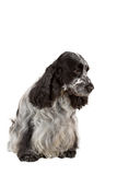 Isolated portrait of english cocker spaniel. European champion, breeding station stock image