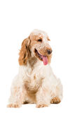 Isolated portrait of english cocker spaniel Royalty Free Stock Image