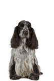 Isolated portrait of english cocker spaniel Royalty Free Stock Images