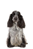 Isolated portrait of english cocker spaniel Stock Photo