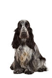 Isolated portrait of english cocker spaniel Stock Photos