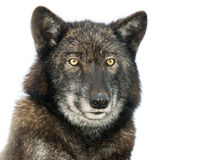 Isolated portrait of a European Wolf. In winter coat Stock Photography