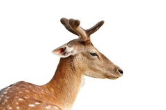 Isolated portrait of fallow deer stag Royalty Free Stock Photo