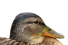 Isolated portrait of a female mallard. Duck ( Anas platyrhynchos Royalty Free Stock Photos